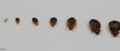 Six Facts About Bed Bugs