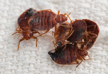 Bed Bugs 101 – Early Detection is Key