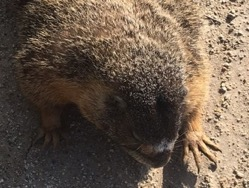 The Yellow-Bellied Marmot