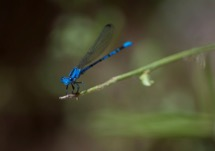 Vivid Dancer Damselfly – Nevada State Insect